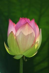 dreamstime_166545.jpg lotus in light