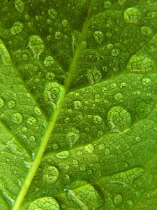 dewy green leaf closeup dreamstime_531019